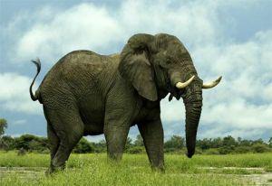 african-elephant2jpg